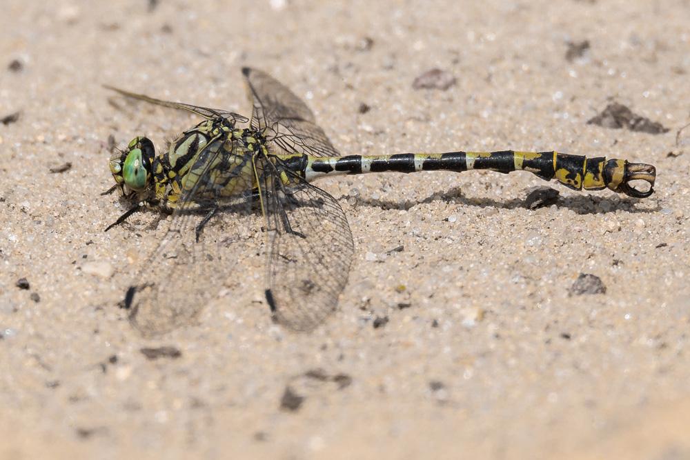 Kleine Zangenlibelle (Foto: mirkograul – Fotolia.com)