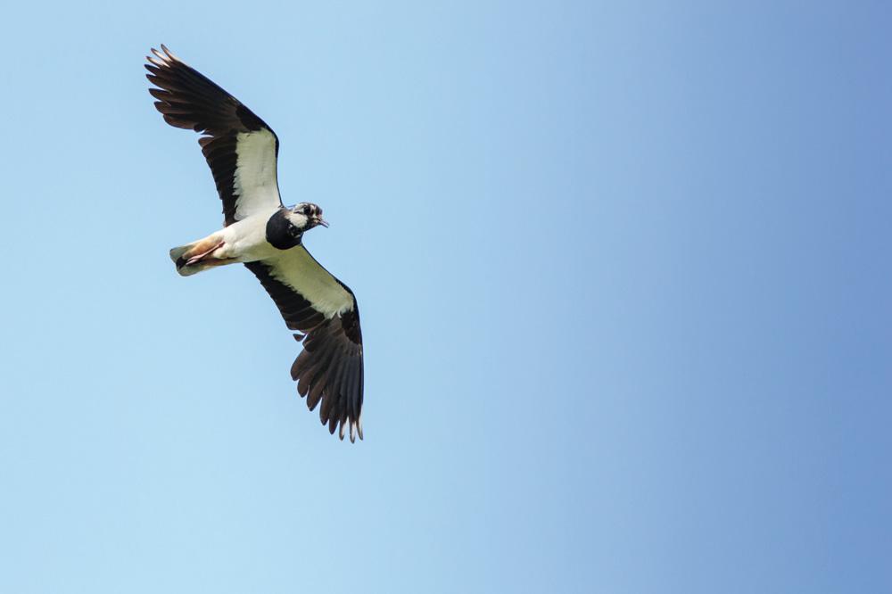 Kiebitz (Foto: Ornitolog82 – Fotolia.com)